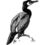 Cormorant.png