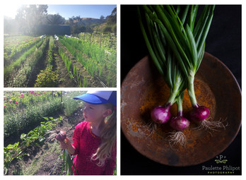 Purplette Onions, Farm to Studio
