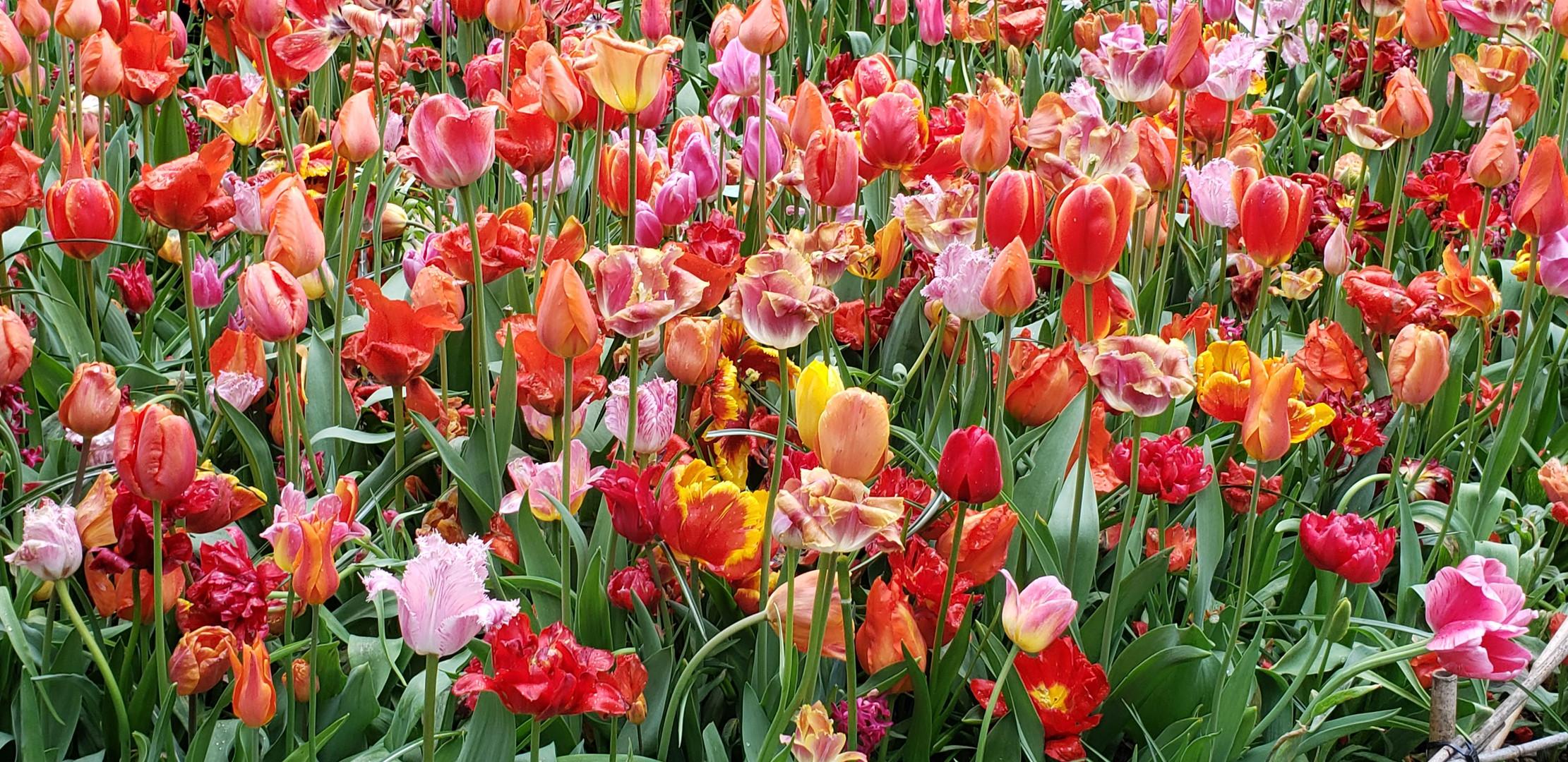 Gardens Tulips