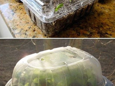 Repurpose Old Plastic Containers as Mini Greenhouses for Sprouting Seeds.