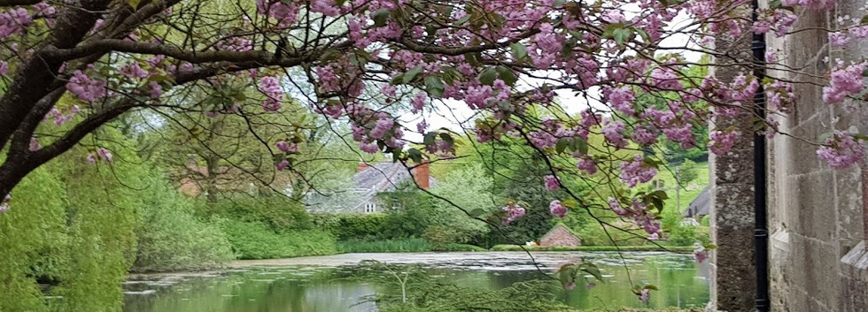 Ansty pond with cherry blossom.jpg