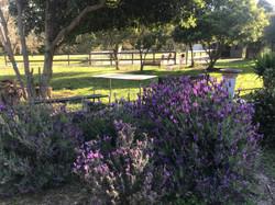 lavendar bush