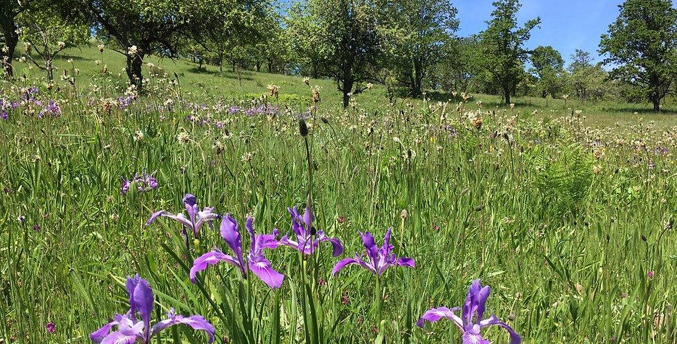 Drought tolerant, oak savannah wildflower mix