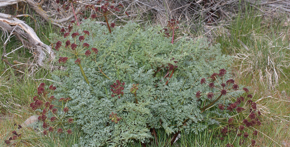 Fern-leaved biscuitroot