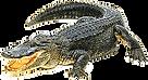 2-alligator.png