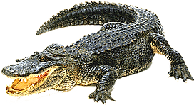 2-alligator.png