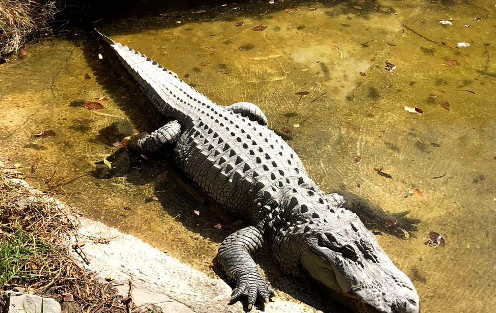 cocodrilo-Parque-Morelos.jpg