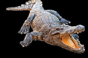 Real-Alligator-Transparent-Image_edited.