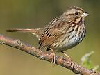 6-Song-Sparrow-Parque-Morelos.jpg