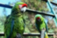 Guacamaya-Verde-Parque-Morelos.jpg