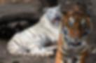 Tigres- Parque Morelos Zoológico