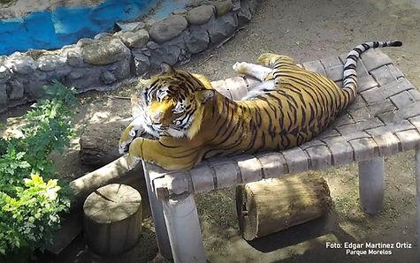 Tigresa-Parque-Morelos..jpg