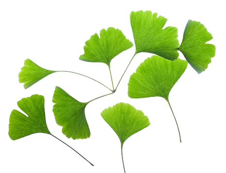 kisspng-ginkgo-biloba-extract-leaf-plant
