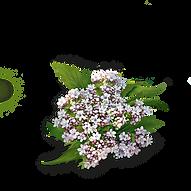 kisspng-yogi-tea-valerian-green-tea-herb