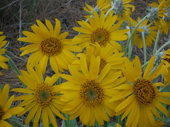 Balsamorhiza_sagittata_close.JPG