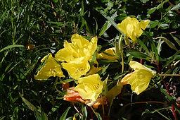 Physocarpus-malvaceus.jpg