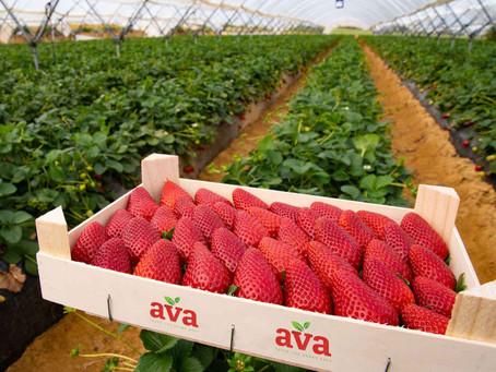 Scottish-grown AVA Strawberries to hit UK supermarkets