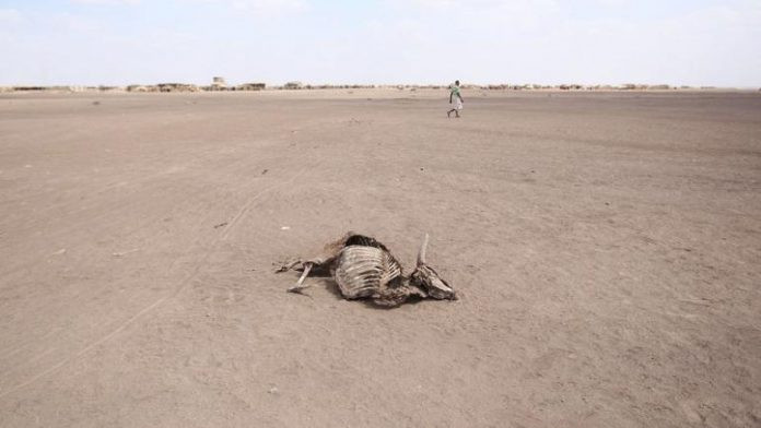 FILE PHOTO: A man walks near a carcass of a dead cow in Farado Kebele, one of the drought-stricken regions in Ethiopia, January 26, 2016. REUTERS/Tiksa Negeri/File Photo