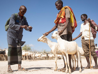 Somalia will lose $500 million this year as its livestock misses out on Hajj to Saudi Arabia