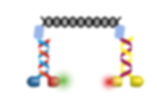 Motor-DNA assembly.PNG