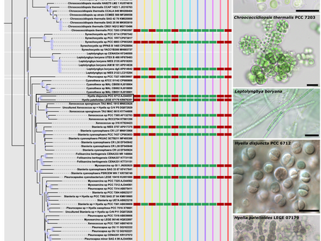Final Destination? - Genomic and classical Insights into a new Cyanobacterial Species