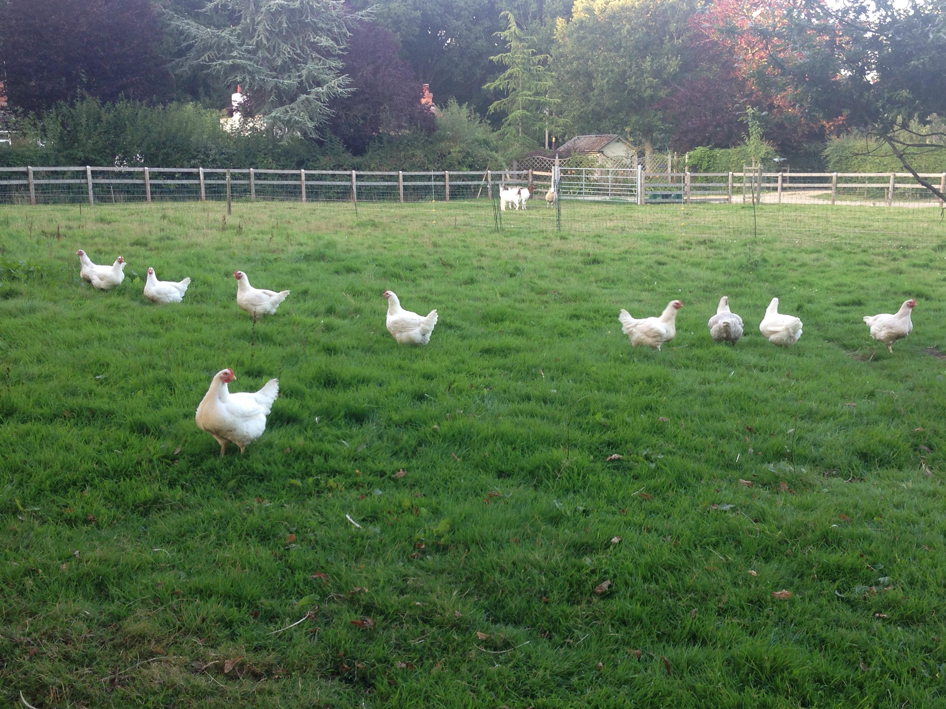Free range Dorset chicken