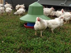 Free range chicken Dorset