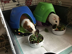 Bolton Pet sitter. Pet sitting.Guinea pig care. Small animal care. Bolton pop in visits