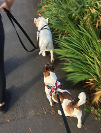 Bolton dog walker. Small dogs. Small group