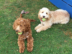 Dog walker in Bolton. Puppy visits in Little Lever, Bolton