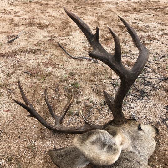 sheldoni mule deer tiburon island