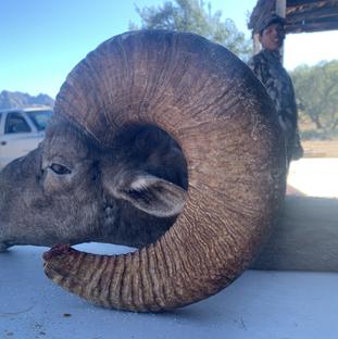 tiburon island desert bighorn sheep