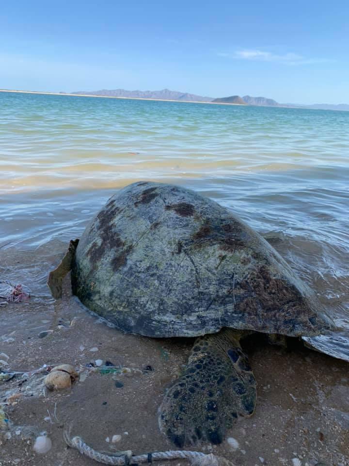 Sea turtle at Seris indian reservation