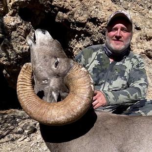 Desert bighorn sheep tiburon island