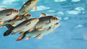 Editorial: Aquatic animal welfare?