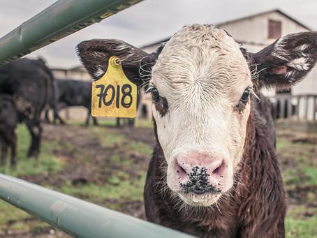 La Vaca, víctima de la ganadería industrial y agente indispensable para la biodiversidad