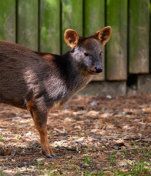 worlds-smallest-deer-4423567_1920_edited.jpg