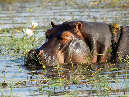 ¡Matemos a los Hipopótamos!