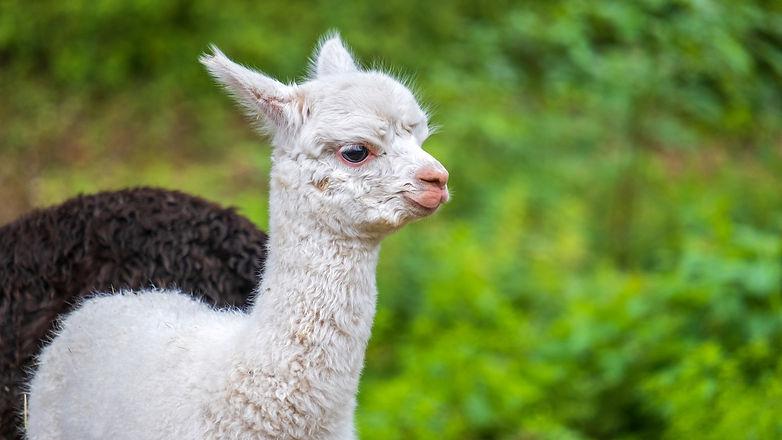 alpaca-4413445_1920.jpg