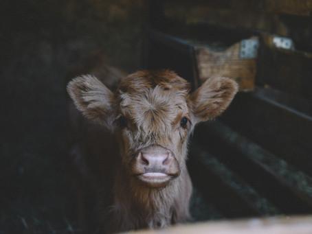 La protección jurídica del ternero en la industria lechera (o la falta de ella)