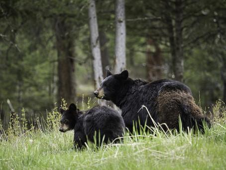 Black Bear Safety - Ontario