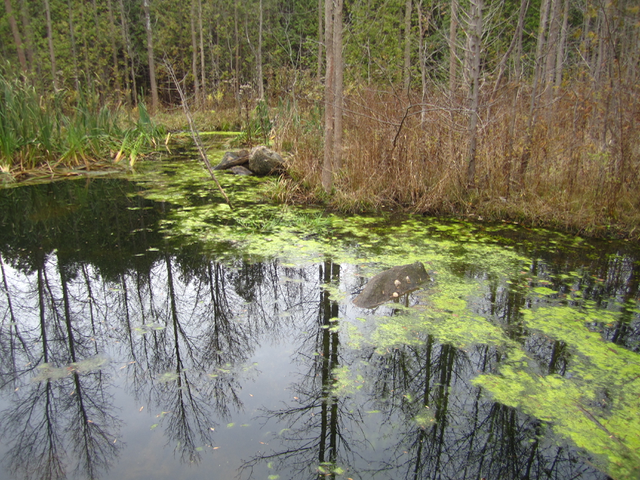 Frog Pond in Altona Forest