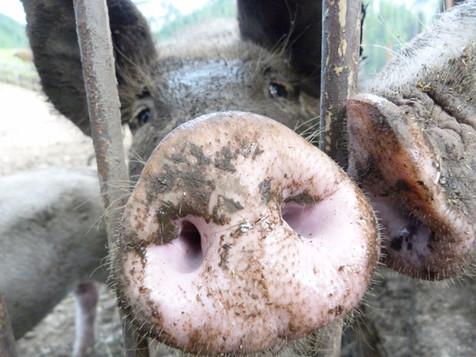 Schweinerl