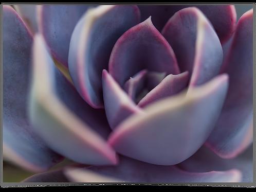 Sukkulent (lilla) 30x40