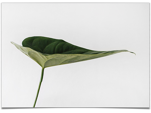 Philodendron 30x40