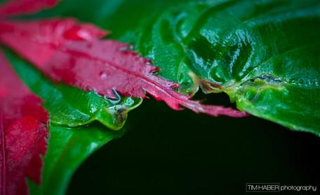 Japanese maple leaf (1)