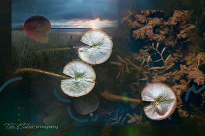 Lily pads collage-11