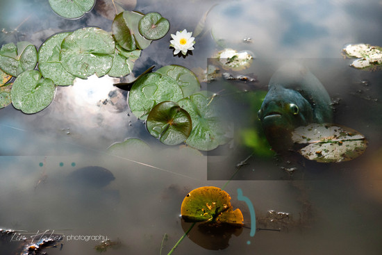 Lily pads collage-8
