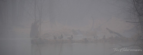 Foggy duck morning (2)