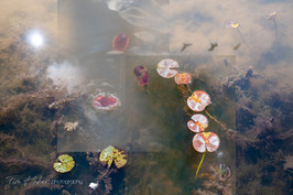 Lily pads collage-15